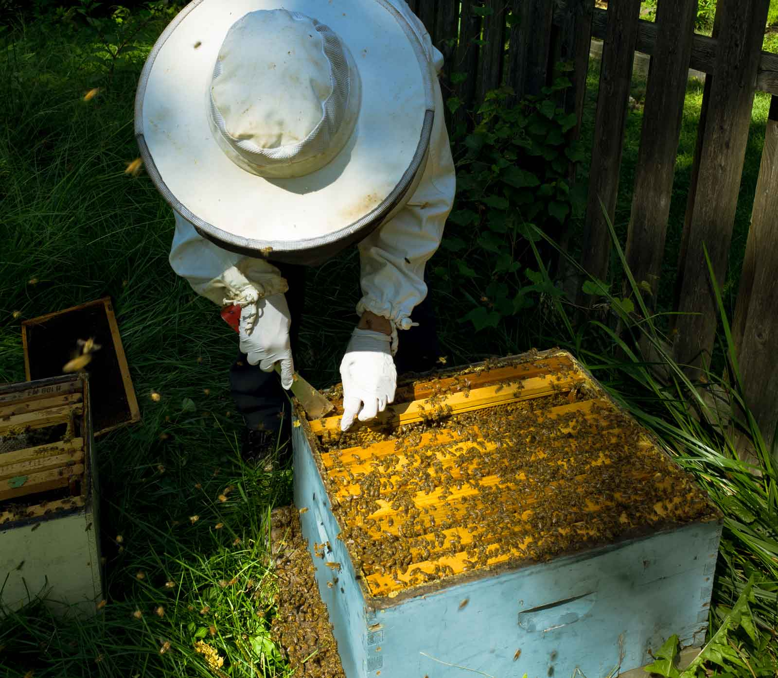 Inspecting a May swarm hive